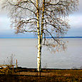 Birch tree on Lake Siljan