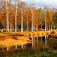 Birch trees in Mora