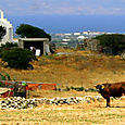 Cow and chapel on Naxos