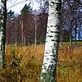 Woods near Rattvik